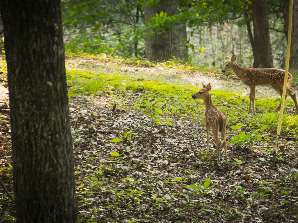 Deer in the Woods | Hohman Lake Rentals